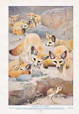 1910 NATURAL HISTORY DOUBLE SIDED PRINT ~ FENNECS & JERBOA / BROWN BEAR LYDEKKER