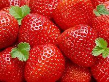 Erdbeerpflanzen 'Ostara' 50  Pflanzen € 19,95