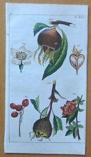 WILHELM: Botanical Engraving Medlar - 1810