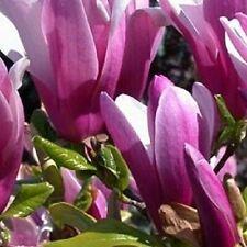 Magnolia Susan Tree Supplied in a 9cm Pot