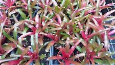 Mini Bromeliad Neoregelia Fireball Tropical Plant terrarium vivarium dart frog