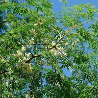Moringa Seeds (Moringa oleifera) Seeds