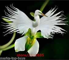100pcs/bag Japanese Radiata Seeds White Egret Orchid Seeds World's Rare Orchid S