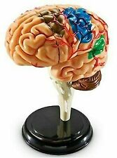 Learning Resources Brain Model LER3335 3335 Human Anatomy