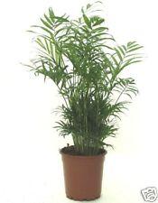 Montaña palme-Chamaedorea elegans - 20 semillas
