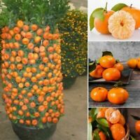 Edible Dwarf Orange Mandarin Tree Garden Fruit Flores Bonsai Citrus 30 PCS Seeds