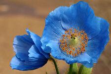 *** SALE *** Unwashed Blue Poppy Seeds Bulk Organic Papaver Somniferum 1 pound