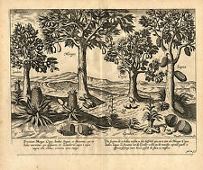 Antique Print-TROPICAL FRUIT-MANGO-ANANAS-GINGER-EAST INDIES-Linschoten-1638