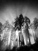 TREES LIGHT FOG BLACK WHITE PHOTO ART PRINT POSTER PICTURE BMP717A