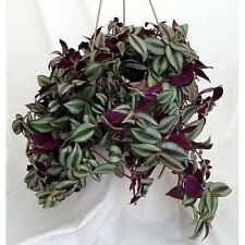 "House Plant Purple Wandering Jew - 6"" Hanging Pot Easy to Grow Indoor Best Gift"