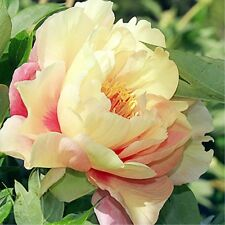 BUY 3 GET 2 FREE Buttery Yellow & Coral Orange Peony 10 Pcs Seeds Garden Bonsai