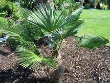 Trachycarpus wagnerianus WAGGIE WINDMILL PALM HARDYSeeds!