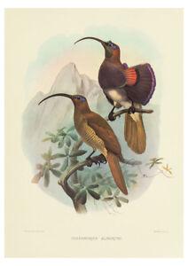 Drepanoris Albertisi (Bird of Paradise) by J. Wolf & J. Smith A2 Art Paper Print