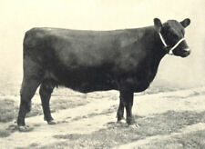 """GALLOWAY COW. """"Dora of Durhamhill"""" H&AS show prizewinner 1895-7 1912 old print"""