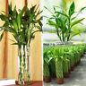 100 Seeds/pack Lucky Bamboo Home Garden Bonsai Decoration