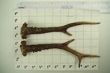 Nice Big Pair Roe Antler Stag for Knife Dagger Door Walking Handle # 3966