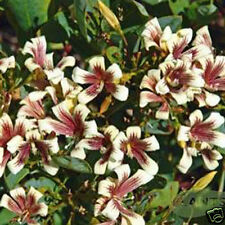 Painted Marianthus Seed Native Gentle Climber Hardy