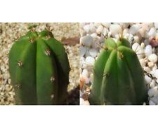 Trichocereus sp. (Echinopsis) 'Super Pedro' x Trich. bridgesii 'Tig' Seed