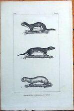 Weasel, Hermine, Touan 1830s French Animal Print - La Belette