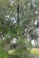 5 lbs of Spanish Moss Live, For Crafts, Decoration, Picked Fresh From Florida