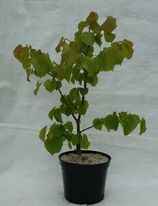 Small Leafed Lime, Tilia cordata in a 17cm - 2 Litre pot.