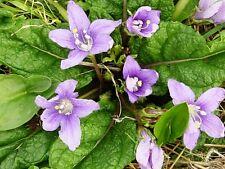 14 Semillas  Mandragora autumnalis - MANDRÁGORA - Rara Planta Mística  Medicinal