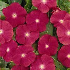 Vinca- Periwinkle- Rose- 50 Seeds- BOGO 50% off SALE