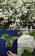 VIBURNUM OPULUS ROSEUM alveolo fiore Palla di neve pianta plant Balloon of May