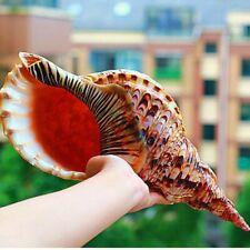 Natural Trumpet Triton Shell Conch Coral Snail Home Ornament Fish Tank Decor Kj