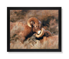 Bighorn Sheep On Mountain Outdoor Wildlife Wall Picture Black Framed Art Print