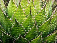 Agave Montana, rare succulent hardy century plant exotic garden seed -15 Seeds