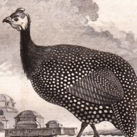 Gravure XVIIIe Pintade Numididae Guineafowl Perlhühner Beçtavuğu Цесаркові  1770