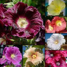 30 Samen Stockrose - Alcea rosea & ficifolia - Mix - Malve - Hollyhock seeds