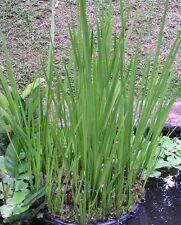 Acore odorant acorus calamus  plante bassin vivace