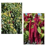 exotisch Garten Pflanze Samen winterhart Sämereien Rankpflanze EFEU+FUCHSSCHWANZ