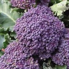 100 Early Purple Sprouting Broccoli Seeds Old English Rare No GMO Organic