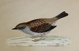 c1875 ANTIQUE PRINT ~ DUNNOCK HAND COLOURED British Birds Morris