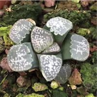 Haworthia groenewaldii Succulent plants potted Plants Home Garden Bonsai Garden