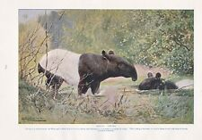 1910 NATURAL HISTORY PRINT DOUBLE SIDED ~ HIPPOPOTAMUSES / TAPIRS ~ LYDEKKER