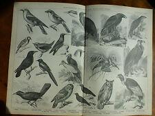 1874 Incisione Ornitologia-appollaiate & RAPACITà Birds Shrike ORIOLO GRACCHIO Corallino