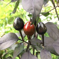 Black Pearl schwarze Perle wunderschöne Chili m. dunklem Laub scharfe Chilli