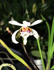 Se Asia Vanda Type Orchid Species Holcoglossum wangii Bs plant!