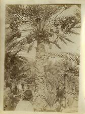 PHOTO ANCIENNE - VINTAGE SNAPSHOT - COLOMB BÉCHAR ALGÉRIE CUEILLETTE DATTES 1910