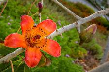 Der afrikanische Kapokbaum liefert eine wollartige weiche Faser.