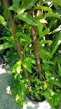 Purple Passion Fruit - 3 to 4 Feet Long - Ship in 1 Gal Pot
