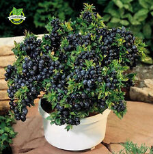 Big promtion 200 Top Hat Blueberry bush Seeds Great