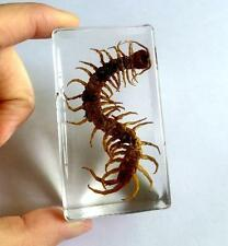 T-01 Centipede in acrylic paperweight centipede insect