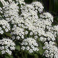 Anise - Pimpinella Anisum - 200+ Seeds - White Flower - Herbal Tea - Medicinal -