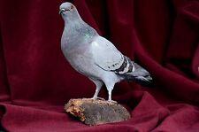 Pigeon stuffed bird taxidermy mount #1