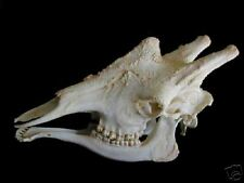 Giraffe skull Replica